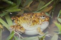 : Limnodynastes ornatus; Ornate Burrowing Frog