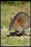 : Thylogale thetis; Red-necked Pademelon