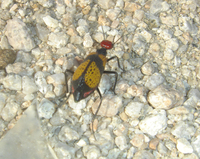 : Tegrodera latecincta; Iron Cross Blister Beetle
