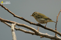 Fig. 1. Yellow-browed Warbler : 노랑눈썹솔새