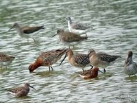 Asian Dowitcher Limnodromus semipalmatus © Neil Fifer