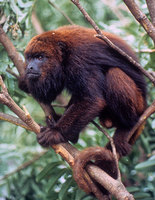Red-and-black howler (Alouatta guariba)