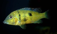 Geophagus pellegrini, Yellowhump eartheater: aquarium