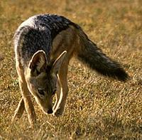 Image of: Canis mesomelas (black-backed jackal)