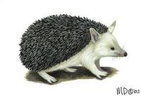 Image of: Hemiechinus auritus (long-eared hedgehog)