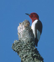 Red-headed Woodpecker (Melanerpes erythrocephalus) photo