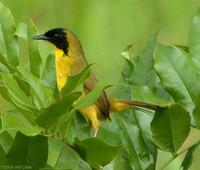 Olive-crowned Yellowthroat (Geothlypis semiflava)