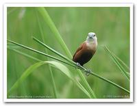 White-headed Munia (Lonchura maja)