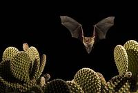 Cave Myotis ( Myotis velifer ) Flying over Bunny Ear Cactus ( Opuntia rufida ) Amado , Arizona ,...