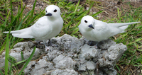 : Gygis alba rothschildi; White Tern (fairy) Adult