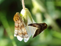 Panemeria tenebrata - Small Yellow Underwing