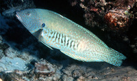 Coris flavovittata, Yellowstripe coris: aquarium