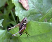 Bicolorana roeselii - Roesel's Bush-Cricket