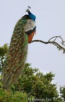 Image of: Pavo cristatus (Indian peafowl)