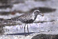 Image of: Pluvialis squatarola (grey plover;black-bellied plover)
