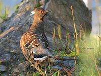 Chestnut-throated Partridge - Tetraophasis obscurus