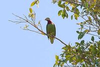 Claret-breasted Fruit Dove - Ptilinopus viridis