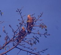 Pallas's Fish Eagle - Haliaeetus leucoryphus