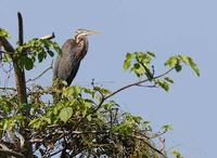 Purple Heron (Ardea purpurea) photo