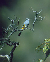 Gray Silky-flycatcher (Ptilogonys cinereus) photo