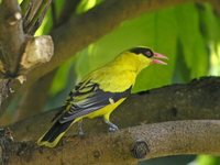 Black-naped Oriole - Oriolus chinensis
