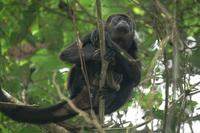 Mantled Howler Monkey. Photo by Barry Ulman. All rights reserved.
