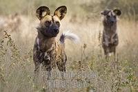 african wild dogs ( Lycaon pictus ) , Namibia , Africa stock photo