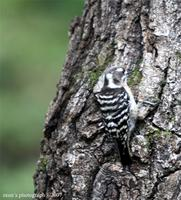 Japanese pygmy woodpecker