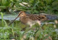 Common Snipe Gallinago gallinago 꺅도요