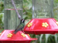 : Hylocharis leucotis; White-eared Hummingbird