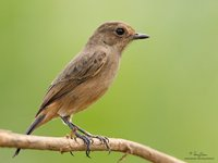 Pied Bushchat(Female) Scientific name - Saxicola caprata