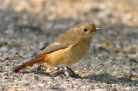 Daurian Redstart Female 北紅尾鴝