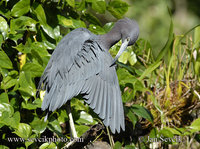 Photo of volavka modrošedá Egretta caerulea Little Blue Heron Garza Azul