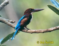 Photo of ledňáček hnědohlavý, Halcyon smyrnensis, White-throated Kingfisher, Braun Liest