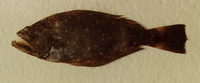 Psettodes bennettii, Spiny turbot: fisheries
