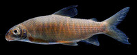 Distichodus hypostomatus, :