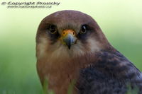 Falco vespertinus - Red-footed Kestrel