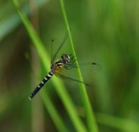 Image of: Nannothemis bella