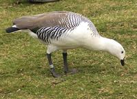 Image of: Chloephaga picta (Magellan goose)