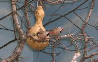 Image of: Poephila acuticauda (long-tailed finch)