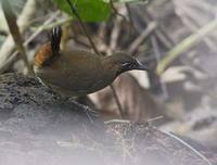 Black-faced Antthrush (Formicarius analis) photo