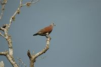 Madagascar Turtle-Dove - Streptopelia picturata