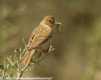 Red-headed Bunting - Emberiza bruniceps