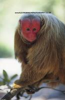 Brazil, Amazon, Amazonas state, Red faced or Bald Uakari; Cacajao calvus