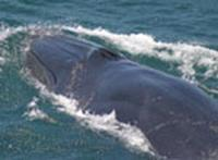 bryde's whale surfacing