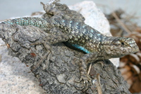 : Sceloporus occidentalis longipes; Great Basin Fence Lizard
