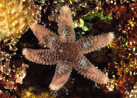 : Leptasterias pusilla; Six-armed Seastar