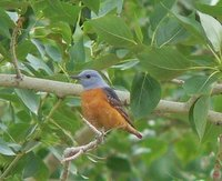 Rufous-tailed Rock Thrush.