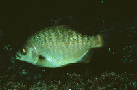 Embiotoca jacksoni, Black perch:
