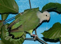 Agapornis cana - Grey-headed Lovebird